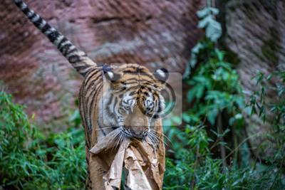 Tiger spielt