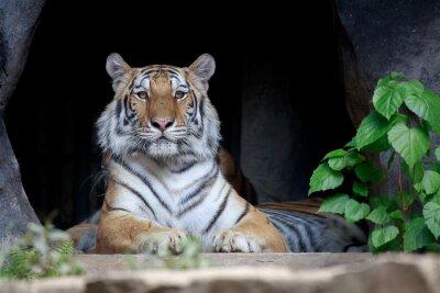 Fototapete Tiger suchen.
