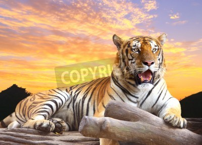 Fototapete Tiger suchen etwas auf dem Felsen mit schönen Himmel bei Sonnenuntergang Zeit
