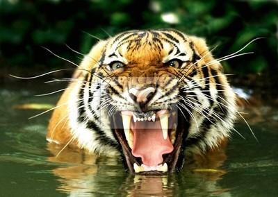 Fototapete Tiger von Bengalen