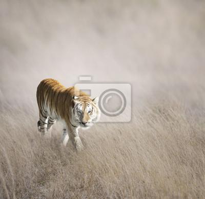 Tiger Walking-