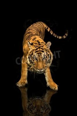Fototapete Tiger Walking schwarzem Hintergrund