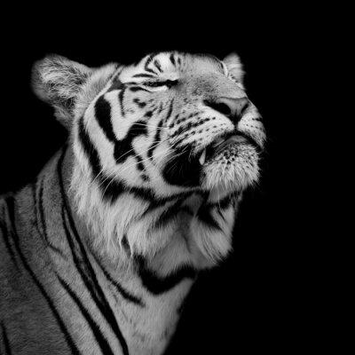 Fototapete Tiger war glücklich