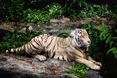 Tigerblanc