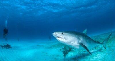 Fototapete Tigerhai