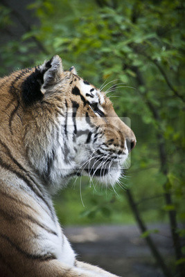 Tigerportrait mit einem Baum Hintergrund