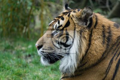 Tigerporträt von der Seite