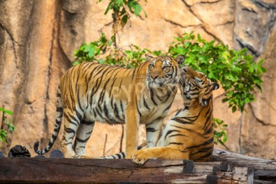Fototapete tigers at the zoo