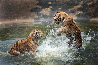 Fototapete tigers play in the water