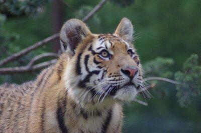 Fototapete Tigre