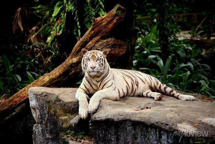 Fototapete Tigre allongé