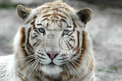 tigre blanc b