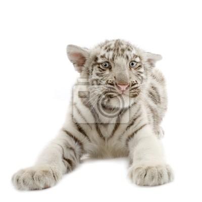 tigre blanc de 3 wochen