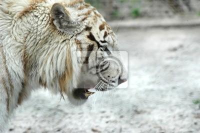tigre blanc ein