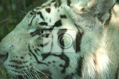 tigre blanc Porträt
