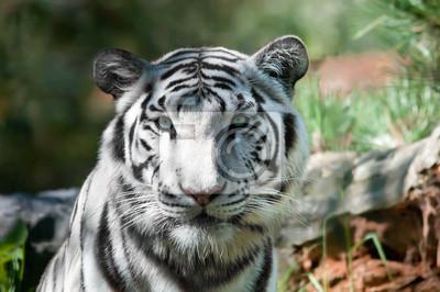 Tigre blanc Royal ( Panthera tigris )