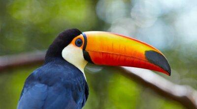 Fototapete Toucan auf dem Zweig im tropischen Wald von Brasilien