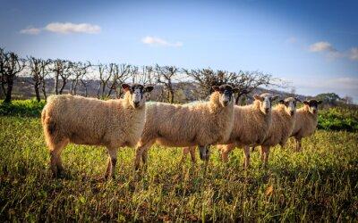 Fototapete Tradycyjne Angielskie Owce kaufen