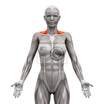 Trapezius vordere hals muskeln - anatomie muskeln isoliert auf ...