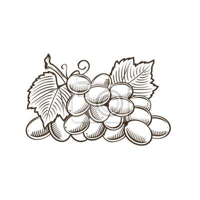 Trauben im Vintage-Stil. Linie Kunst Vektor-Illustration