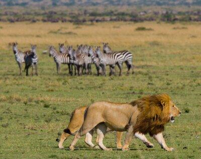 Fototapete Treffen des Löwen und der Löwin in der Savanne. Nationalpark. Kenia. Tansania. Masai Mara. Serengeti Eine ausgezeichnete Illustration.