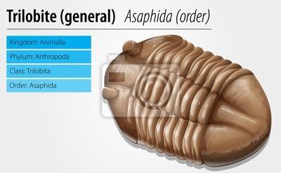 Trilobiten fossilen