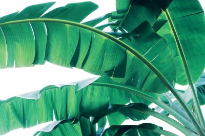Fototapete Tropical green leaves pattern on white background, lush foliage of banana palm leaves the tropic plant.