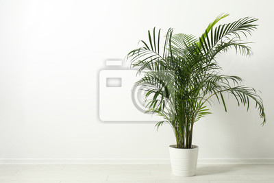 Fototapete Tropical plant with lush leaves on floor near white wall. Space for text