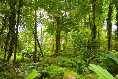 Fototapete tropischer regenwald  Tropischer regenwald auf der insel mahé, seychellen fototapete ...