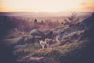 Fototapete Tschechoslowakisches Woflshundrudel freiläufend im Gebirge