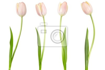 Tulip Sammlung