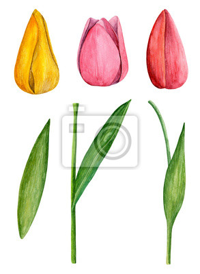 Tulips Clip Art Watercolor Spring Flowers Fototapete Fototapeten