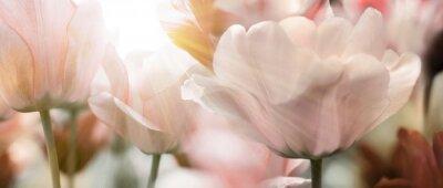Fototapete tulpen licht sonnenstrahlen