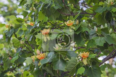fototapete tulpenbaum liriodendron tulipifera genannt tuliptree amerikanischer tulpe baum tulpe