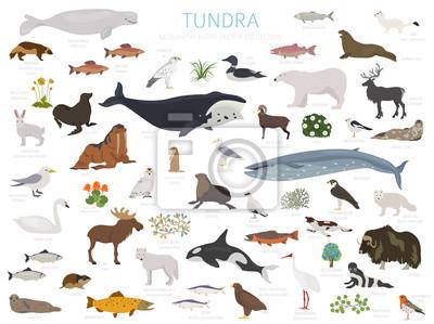 Fototapete Tundra biome. Terrestrial ecosystem world map. Arctic animals, birds, fish and plants infographic design