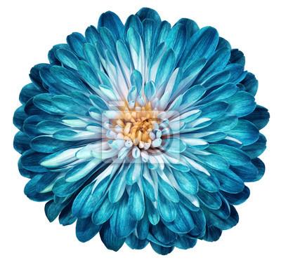 Türkis blume chrysantheme, garten blume, weiß isoliert hintergrund ...