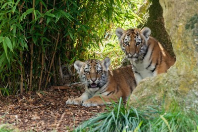 Fototapete Two Adorable Amur Tiger Cubs Hiding in Shelter Panthera Tigris Altaica