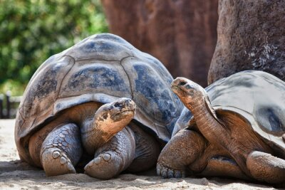 Fototapete Two Galapagos Tortoises having a conversation
