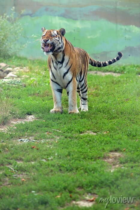 Fototapete Tygrys bengalski