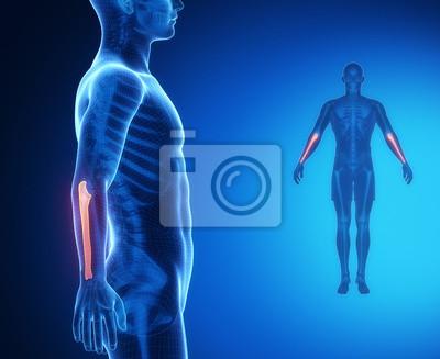 Ulna knochenanatomie x-ray-scan fototapete • fototapeten ...