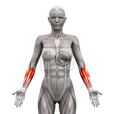 Unterarm muskeln - anatomie muskeln isoliert auf weiß fototapete ...