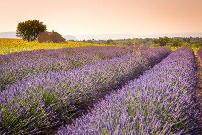 Fototapete Valensole, Provence, Frankreich. Lavendelfeld voll von lila Blüten