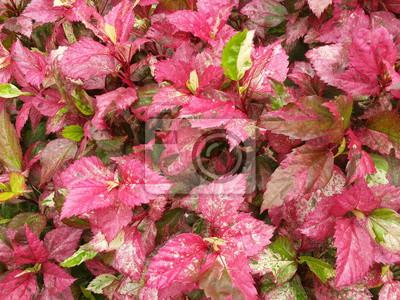 Variegated Laurel ist eine Art von tropischen Pflanzen
