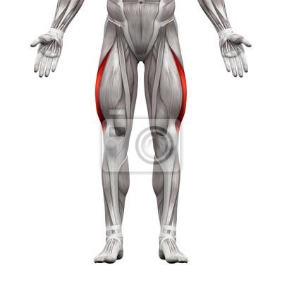 Vastus lateralis muskel - anatomie muskeln isoliert auf weiß ...
