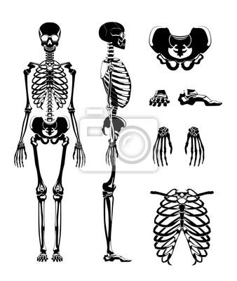 Vector silhouette des menschlichen skeletts. anatomie bilder ...