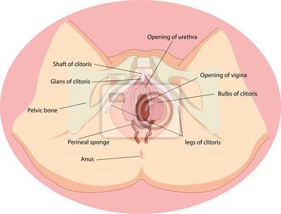 Vektor-illustration der weiblichen fortpflanzungsorgane anatomie ...