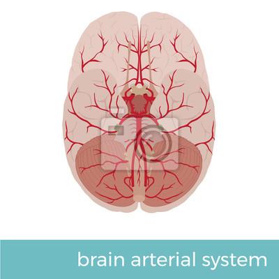 Vektor-illustration des arteriellen systems des menschlichen ...