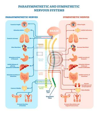 Vektor-illustrationsdiagramm des menschlichen nervensystems ...