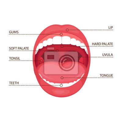 Vektorillustration eines offenen munds der anatomie menschlichen ...