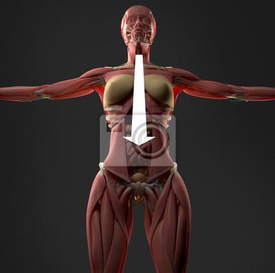 Verdauung oder verdauungsstörungen auf weiblichen bauch anatomie ...